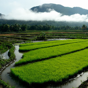 A Wonderful Morning at the Rice Field by Hitler Tombaan - Landscapes Prairies, Meadows & Fields ( wasuponda, paddy field, rice field, nature, south sulawesi, indonesia, food, heatlarx, morning, mist )