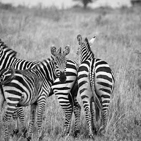 Zebra by Jaliya Rasaputra - Animals Other Mammals ( black and white, wildlife, zebra, , animal )