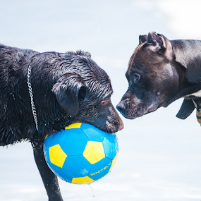 Dogs playing with ball by Cristobal Garciaferro Rubio - Animals - Dogs Playing ( black dog, ball, wet dog, pit bull, labrador )