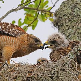 Dinner for some ! by Anthony Goldman - Animals Birds ( bird, wild, predator, nest, tampa, action, wildlife, adult, feding, red shouldered, chicks, hawk )