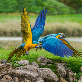 Double lift off by Garry Chisholm - Animals Birds ( nature, parrot, banham, garrychisholm, macaw )