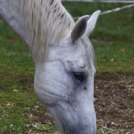 by Noel Kapica - Animals Horses