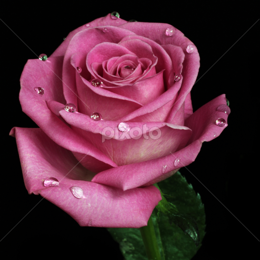 Rose in pale tone by Cristobal Garciaferro Rubio - Nature Up Close Flowers - 2011-2013 ( drop, roses, drops, raindrops, leaf, flowers, leaves, flower )