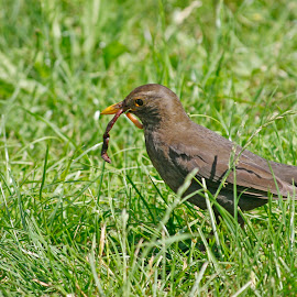 Blackbird carrying worms by Anja Možina - Uncategorized All Uncategorized ( bird, food, care, worms, blackbird, spring )