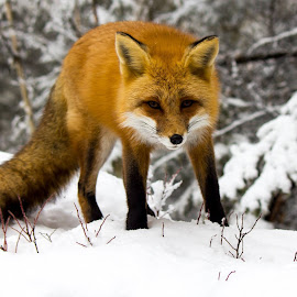 red fox by Peter Degrace - Animals Other
