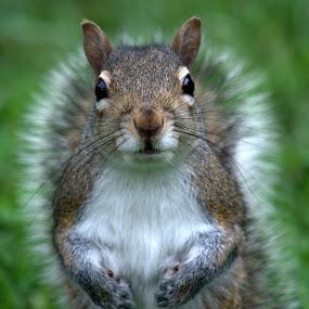 Curious by Anita Frazer - Animals Other Mammals ( brown, squirrel, mammal,  )