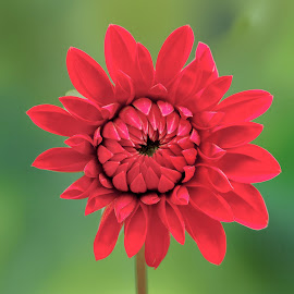 Deep red dahlia by Jim Downey - Flowers Single Flower ( red, green, dahlia, petals, flower )