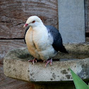 White-headed Pigeon - male