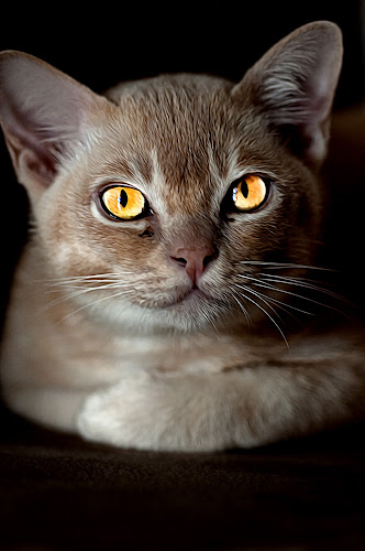 by Michael Miller - Animals - Cats Portraits ( cats, magic, cat, cat eyes, magical, fawn, yellow, eyes )