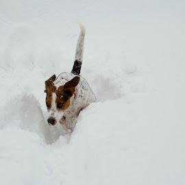 by Oreana Tomassini - Animals - Dogs Running (  )