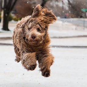 Running Wild In His First Snow by Kathy Suttles - Animals - Dogs Running ( playing, oklahoma, happy puppy, suttleimpressons, running wild, snow play, running, airborn, kobe, first time in snow )