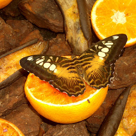 Butterfly by Fanie van Vuuren - Novices Only Objects & Still Life