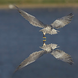 Tern and its reflection by Prasanna Bhat - Digital Art Animals