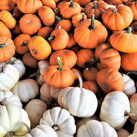 little pumpkins in orange and white by Mary Gallo - Nature Up Close Gardens & Produce ( fall colors, fall objects, nature up close, pumpkins from the garden )
