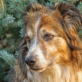 English Shepherd - Sage Portrait -3 by Twin Wranglers Baker - Animals - Dogs Portraits