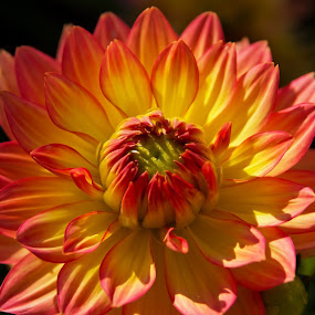 summer color by Thomas Stroebel - Nature Up Close Flowers - 2011-2013 ( orange, red, color, chrysanthemum, summer, yellow, flower, chrysantheme )