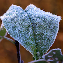Heavily Frosted by Chrissie Barrow - Nature Up Close Leaves & Grasses ( nature, green, white, frost, leaf, bokeh, closeup )