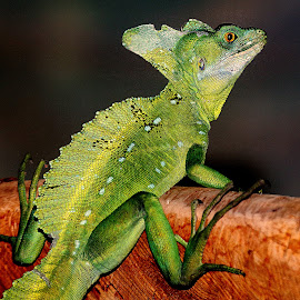 Basilic by Gérard CHATENET - Animals Reptiles