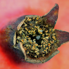 Pomegranate by Tomasz Budziak - Nature Up Close Other plants ( pomegranate, macro photography, fruits )