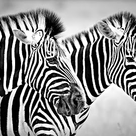 Together by Pieter J de Villiers - Black & White Animals