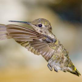 Anna's Hummingbird in Flight by Lee Davenport - Animals Birds