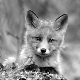 fox cub by Marius Birkeland - Black & White Animals ( fox, black and white, forest, cub, animal )