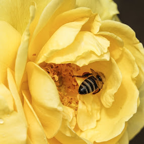 YellowHas It All by Joan Sharp - Flowers Single Flower ( flowers, yellow flower, honeybee, roses, dark background,  )