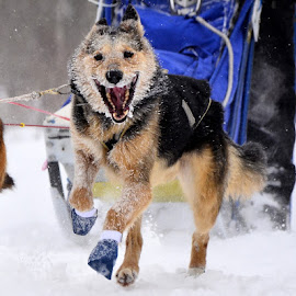 Beargrease Athlete by Bryan French - Animals - Dogs Running ( sled dogs, winter, happy, dog, beargrease )
