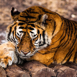 by Ciurcui Levente - Animals Lions, Tigers & Big Cats