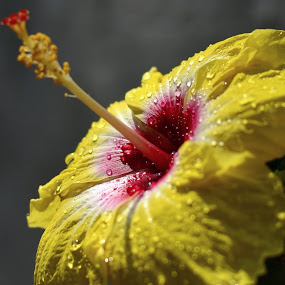 Silver Drop by Priyank Jha - Nature Up Close Flowers - 2011-2013 ( hibiscur, nikon d5100, nature, close up, flower )
