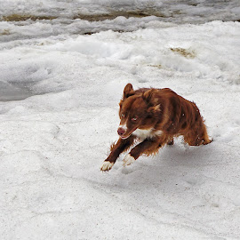 Gizmo Run by Julio Cardona - Animals - Dogs Running ( pets, running, snow, alaska, dogs, ice, animals, aussie, landscape, fun )