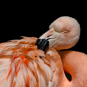 Sleepy Flamingo by Steven Stamford - Animals Birds ( chilean flamingo, bird, wading bird, nature, phoenicopterus chilensis, flamingo, wildlife, pink flamingo, wader, water bird, pink bird,  )