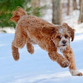 Cavapoo frolicking by Steven Liffmann - Animals - Dogs Running ( lenny, snow, cavapoo, cute, dog, running,  )