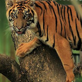 Tatapan by Ryan Alamanda - Animals Lions, Tigers & Big Cats