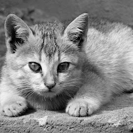 Kitten  by Asif Bora - Black & White Animals