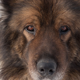 Tomi by Radu Mitroi - Animals - Dogs Portraits ( ovcharka, caucasian shepherd, dog, portrait )