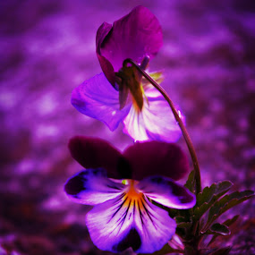 Pansy twins by Jennifer Holmes - Flowers Flowers in the Wild ( purple, petals, beautiful, pansy, flowers )