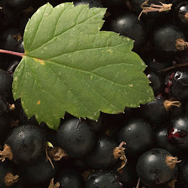 Black Currant by Anitta Lieko - Food & Drink Fruits & Vegetables