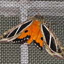 Dot-underwing Moth
