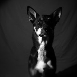 green eye by Angelo Derderian - Animals - Dogs Portraits ( old, white, husky mix, dog, black )