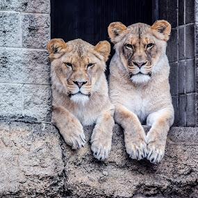 Just Coolin by Jason Lockhart - Animals Lions, Tigers & Big Cats ( wisconsin, animal portrait, racine, rainy day, racine zoo, lionessess )