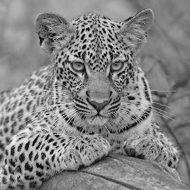 Tamboti`s Cub by Anthony Goldman - Black & White Animals ( cub, leopard, nature, londolozi, big cat, sabi sands, wildlife )