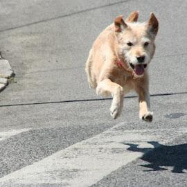 Dog running by Pedro Trindade - Animals - Dogs Running