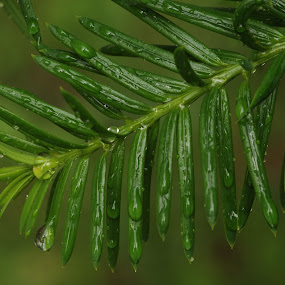 Rain drops by M.H. O'Dell - Nature Up Close Leaves & Grasses