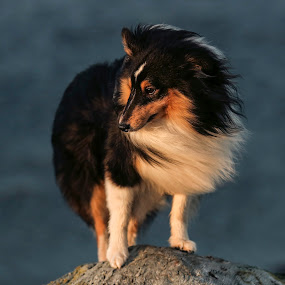 Nero by Lillian Utstrand Gulliksen - Animals Other Mammals ( collie, dogs, tricolor, shetland sheepdog, small dog )