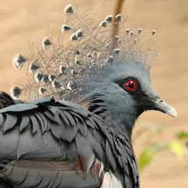 Victoria Crown Pigeon by Ralph Harvey - Animals Birds ( victoria crown pigeon, bird, wildlife, ralph harvey, chester zoo )