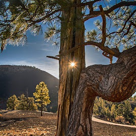 Through the Tree by Richard Michael Lingo - Nature Up Close Trees & Bushes ( tree, nature, arizona, pine, sunlight )