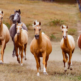 The Herd by Glenys Lilley - Animals Horses ( gallop, palomino, wild, foals, horses, herd, arabian )