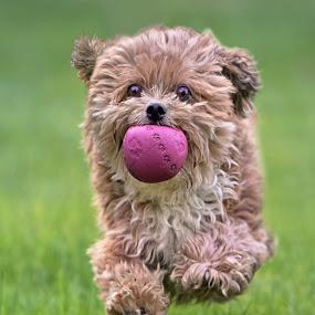 Jumping by Michael Milfeit - Animals - Dogs Running ( natural light, playful, jumping, joy, hund, puppie, run, cute, running, natural background, playing, adorable dogs, curious, toy, nature, happy, mamal, animal, ball, moving, animalia, play, charging, young, portrait, jump, canine, vertebra, joyful, animal kingdom, pet, zoology, companion dog, dog, natural, plaything,  )