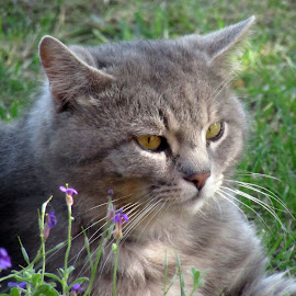 Sivko by Vesna Martinjak - Animals - Cats Portraits ( cat, grey, flowers, spring, eyes )
